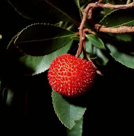 Κουμαρια (arbutus unedo)φυτο-καλλιεργεια